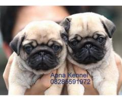 Pug pups  price in chandigarh, Pug pups  for sale in chandigarh
