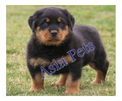 Rottweiler pups  price in chandigarh, Rottweiler pups  for sale in chandigarh