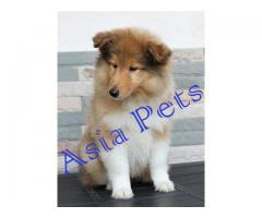 Rough collie pups  price in chandigarh, Rough collie pups  for sale in chandigarh