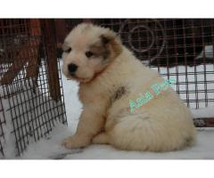 Alabai puppies price in Chandigarh, Alabai puppies for sale in Chandigarh