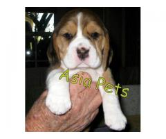 Beagle puppies price in Chandigarh, Beagle puppies for sale in Chandigarh