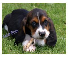 Basset hound puppies price in Chandigarh, Basset hound puppies for sale in Chandigarh