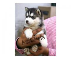 Siberian husky puppies price in Chandigarh, Siberian husky puppies for sale in Chandigarh