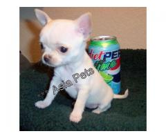 Chihuahua puppies price in Chandigarh, Chihuahua puppies for sale in Chandigarh