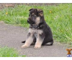 German Shepherd puppies price in Chandigarh, German Shepherd puppies for sale in Chandigarh