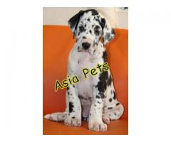 Harlequin great dane puppies price in Chandigarh, Harlequin great dane puppies for sale in Chandigar