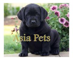 Labrador puppies price in Chandigarh, Labrador puppies for sale in Chandigarh
