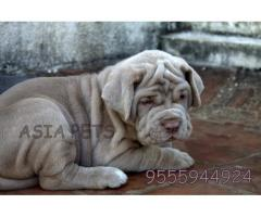 Neapolitan mastiff puppies price in Chandigarh, Neapolitan mastiff puppies for sale in Chandigarh