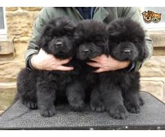 Newfoundland puppies price in Chandigarh, Newfoundland puppies for sale in Chandigarh