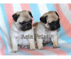 Pug puppies price in Chandigarh, Pug puppies for sale in Chandigarh