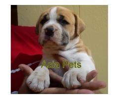 Pitbull puppies price in Chandigarh, Pitbull puppies for sale in Chandigarh