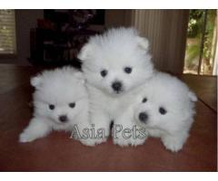 Pomeranian puppies price in Chandigarh, Pomeranian puppies for sale in Chandigarh