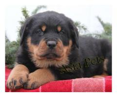 Rottweiler puppies price in Chandigarh, Rottweiler puppies for sale in Chandigarh