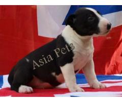 Bullterrier puppies  price in chennai, Bullterrier puppies  for sale in chennai