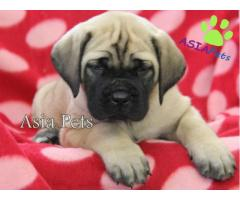 English Mastiff puppies  price in chennai, English Mastiff puppies  for sale in chennai