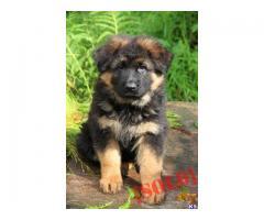 German Shepherd puppies  price in chennai, German Shepherd puppies  for sale in chennai