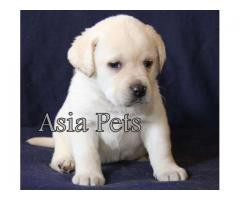 Labrador puppies  price in chennai, Labrador puppies  for sale in chennai