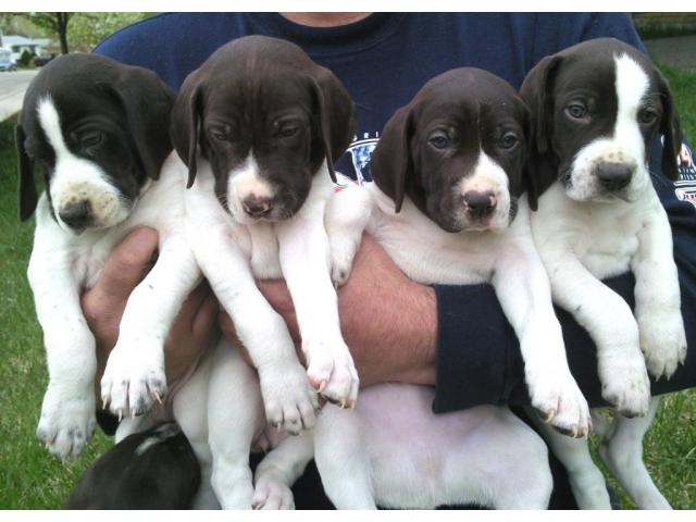 Pitbull puppies price in chennai, Pitbull puppies for sale