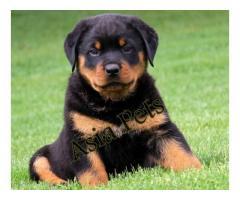 Rottweiler puppies  price in chennai, Rottweiler puppies  for sale in chennai