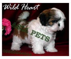 Shih tzu puppies price in chennai, Shih tzu puppies  for sale in chennai