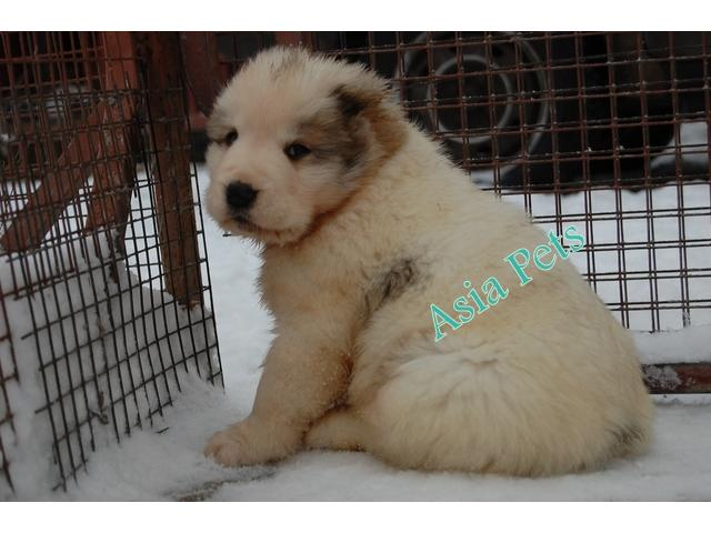 Alabai pups price in chennai, Alabai pups for sale in chennai