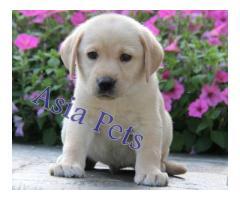 Labrador pups price in chennai, Labrador pups for sale in chennai
