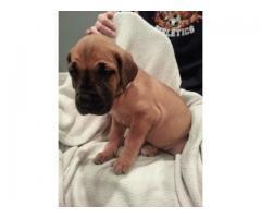 Great dane puppy price in chennai, Great dane puppy for sale in chennai