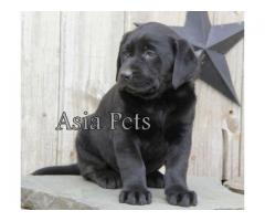 Labrador puppy price in chennai, Labrador puppy for sale in chennai