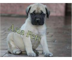 Bullmastiff puppies price in Dehradun, Bullmastiff puppies for sale in Dehradun
