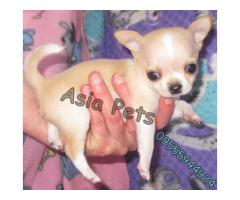 Chihuahua puppies price in Dehradun, Chihuahua puppies for sale in Dehradun