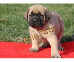 English Mastiff puppies price in Dehradun, English Mastiff puppies for sale in Dehradun