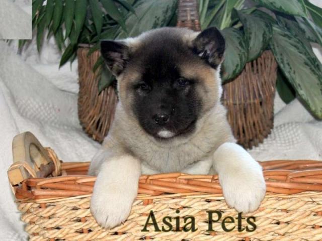 Akita puppies  price in coimbatore, Akita puppies  for sale in coimbatore