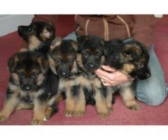 German Shepherd puppies price in Dehradun, German Shepherd puppies for sale in Dehradun