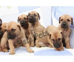 Great dane puppies price in Dehradun, Great dane puppies for sale in Dehradun