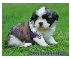 Shih tzu puppies price in Dehradun, Shih tzu puppies for sale in Dehradun