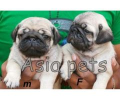 Pug puppies price in Dehradun, Pug puppies for sale in Dehradun