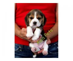 Beagle puppy price in Dehradun, Beagle puppy for sale in Dehradun