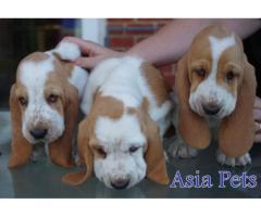 Basset hound puppy price in Dehradun, Basset hound puppy for sale in Dehradun