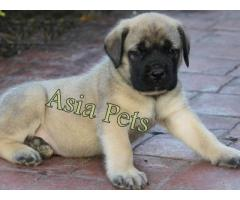 Bullmastiff puppy price in Dehradun, Bullmastiff puppy for sale in Dehradun