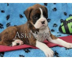 Boxer puppy price in Dehradun, Boxer puppy for sale in Dehradun