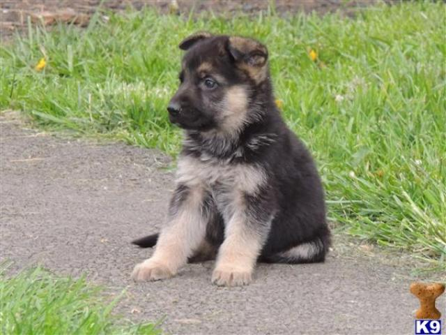 German Shepherd puppy price in coimbatore, German Shepherd puppy for