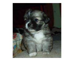 Tibetan spaniel puppy price in Dehradun, Tibetan spaniel puppy for sale in Dehradun