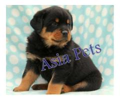 Rottweiler puppy price in Dehradun, Rottweiler puppy for sale in Dehradun