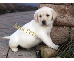 Labrador puppy price in coimbatore, Labrador puppy for sale in coimbatore