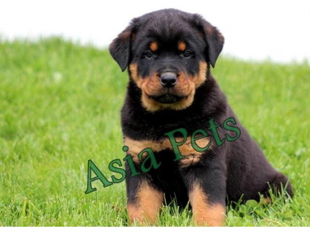 Rottweiler Puppy Price In Coimbatore Rottweiler Puppy For Sale In