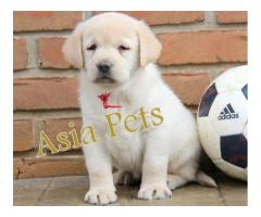 Labrador puppy price in Dehradun, Labrador puppy for sale in Dehradun