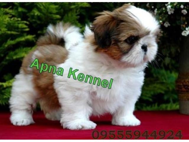 Shih tzu puppy price in coimbatore, Shih tzu puppy for sale in