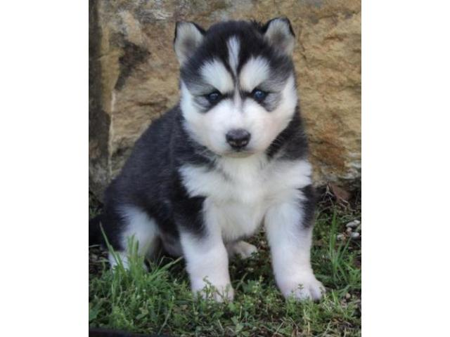 Siberian Husky Puppy Price In Coimbatore Siberian Husky Puppy For