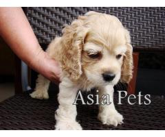 Cocker spaniel puppy price in Dehradun, Cocker spaniel puppy for sale in Dehradun