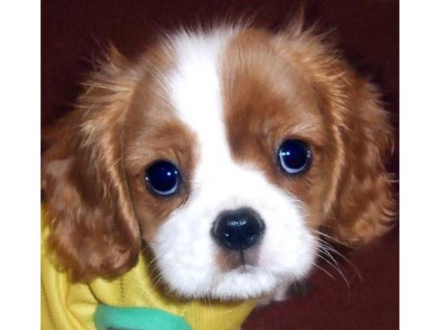 King charles spaniel puppy price in Dehradun, King charles spaniel puppy for sale in Dehradun
